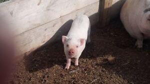 male pot bellied piglet