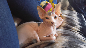 Canadian sphynx 12 weeks  old female for sale