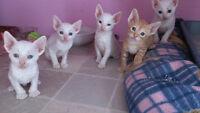 **Magnifiques chatons Rex Cornish**