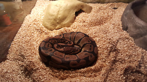 Ball python for sale (4 years old)