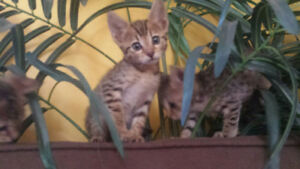 Savannah Kittens Tica Registered  F6 sbt