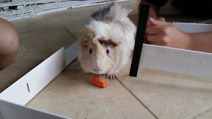 Forest the Guinea Pig needs a good new home