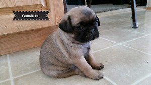 Purebred pug puppies for sale!