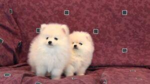 Pomeranian Cutie