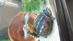 3 stripe mud turtle pair