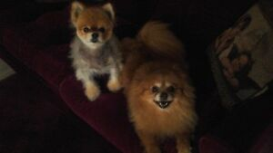 small dogs pet sitting