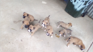 Ridgeback X Bullmastiff Puppies