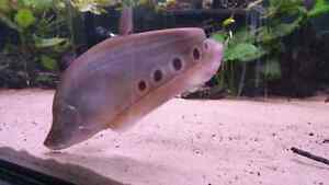 16 inch Clown Knife Fish London Ontario image 2