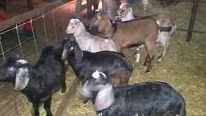 Goats bucklings for sale