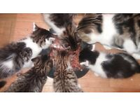 6 beautiful tabby kittens for sale