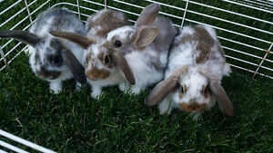 Holland Lop Bunnies - PRICE REDUCED! ONE DAY SALE