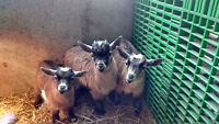 Only One Left, For Sale, Adorable Baby Male Pygmy Goat