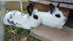 Looking for a good home for my rabbits (neutered male)