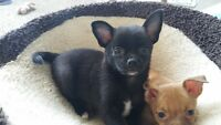 Chihuahua Pug puppies ready to go.