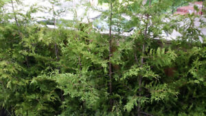 Cedars Trees for Sale - Three Year Warranty - Lowest Prices
