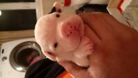 Olde English X American Bulldog Puppies - Ready for Easter