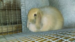 Lapin Fuzzy Lop