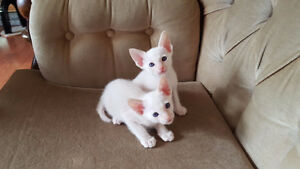 2 REGISTERED SIAMESE KITTENS LEFT-RARE FLAME POINT & CREAM POINT