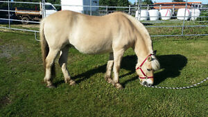 Two Norwegian Fjord Horses for Sale or lease.