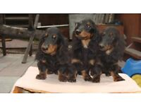 Miniature longhair dachshund puppies KC REGISTERED.