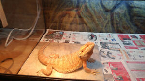 Male Orange x Red bearded dragon to breed