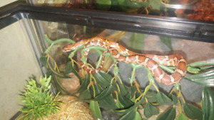 2018 corn snake with enclosure