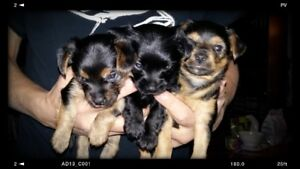 puppies chorkie male and female