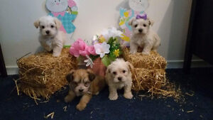Morkies babies looking for their forever homes
