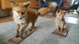 Taxidermy foxes stuffed animals