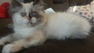 Beautiful Female Himalayan kitten.