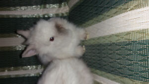 Doublemane lionhead purebed/ready end of february!