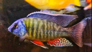 Looking for quality african cichlids