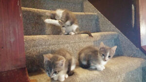 3 Kittens available for new homes - free