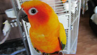 Sun-Conure with Cage for sale.