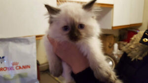 8 weeks pure Ragdoll Blue/Seal point females $980