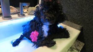 Beautiful Female Purebred Poodles