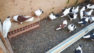 Beautiful Afghani kafter for sale, Shirazi pigeons. Rare Birds!