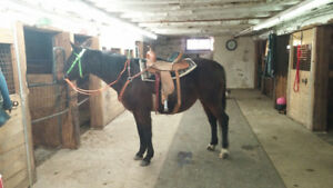 Well Broke Standardbred Mare