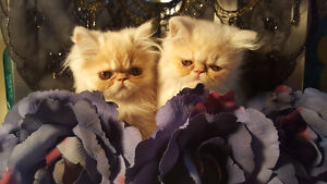 ~*~Amazing Persian Kittens~*~Plum Only one left!