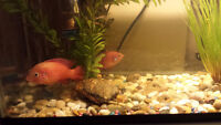 JEWEL CICHLID FRY FOR SALE FISH