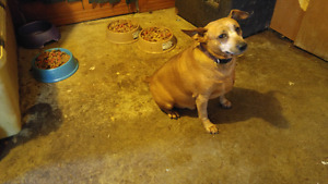 Red minpin for rehomeing
