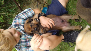 Adorable puppies for sale-wonderful  family dogs!!