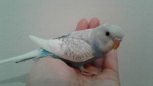 HAND RAISED BABY BUDGIES & CAGE FOR SALE