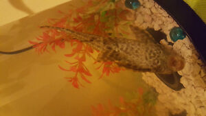 black plecco about 6 inches