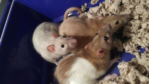 Female Rats for rehoming (free)