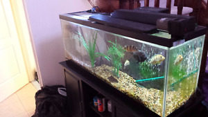 55G Fish tank Aquarium with Stand,Filters,4 cichlids,half price
