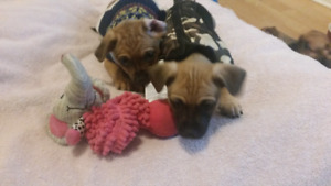 """Adorable """"MUGGINS """" puppies!  bonus started pack included!"""