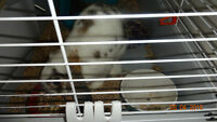 Bunny Pet 10 months old with cage and left over food