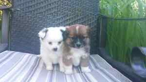 Adorable and cuddly Pomeranian puppies