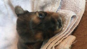 Yorkie X Puppies-  S'morkies for sale